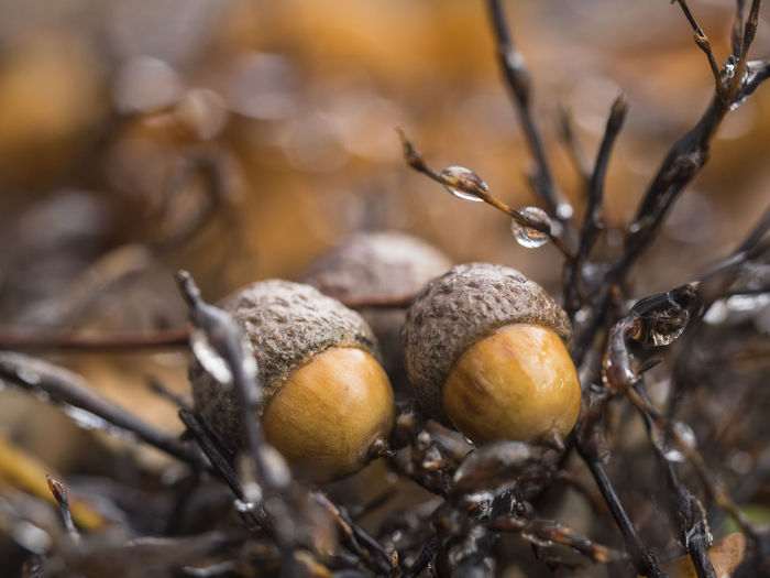 Acorns Fruits Oak Quercus Tree Plant Fruit Nature Outdoors Fallen Ripe Fruit Forest Fruits Water Drops Autumn No People Selective Focus Brown Forest Hut Dew Drops Damp Day Close-up