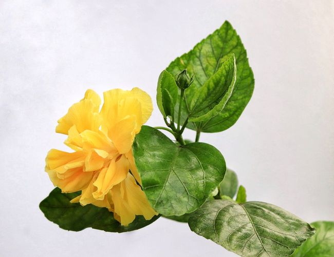 Hibiscus 🌺 HibiscusFlowers Hybiscus Yellow Flower Yellow Hibiscus Yellow Hibiscus Flower Beauty In Nature Blooming Close-up Flower Flower Head Fragility Freshness Green Color Hibiscus Hibiscus Close-up Hibiscus Flower Hibiscus Full Bloom Leaf Outdoors Petal Plant White Background Yellow Yellow Petals