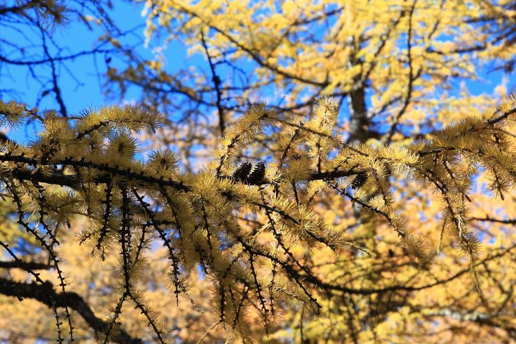 Branch Nature China Wonderful Beautiful ASIA Photography Trees Tree Area Autumn Yading National Level Reserve Hiking Trail Beauty In Nature Scenery Scene Landscape Scenics - Nature Scenics Pine Tree Tree Flower Branch Sky Close-up Blossom Leaves