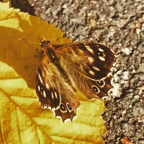 Butterflies Insects  Ukwildlife Wildlifephotography Lunchtimevisitor Fallleaves Autumnalleaves