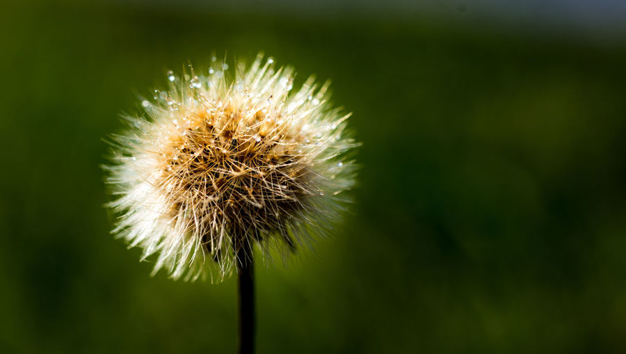 Flower Freshness Flowering Plant Plant Beauty In Nature Close-up Dandelion Fragility Focus On Foreground Growth Inflorescence Vulnerability  Flower Head No People Nature Plant Stem Day Outdoors Green Color Dandelion Seed Spiky
