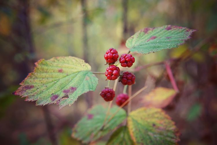 wild raspberry Raspberry Raspberries Wildlife & Nature Wildlife Braunschweig Gifhorn Sony Sigma 30mm/1.4 Autumn Leaves Autumn colors EyeEm Nature Lover Eyem Gallery Flower Collection Endofsummer EyeEm Gallery EyeEm Best Shots Tree Branch Leaf Fruit Autumn Winter Close-up Plant Green Color In Bloom Rowanberry Pollen Blooming Botany