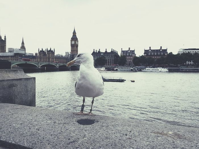 Bird River Water Outdoors Urban Skyline City No People Animal Themes Cityscape Day Sky London Big Ben Westminster Thames Thames River