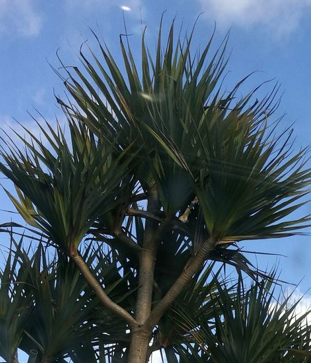 Low Angle View Palm Tree Pointed Leaves Blue Sky Background Beauty In Everything