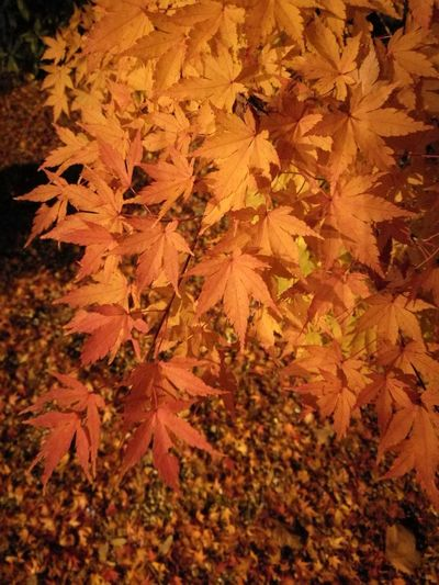 Autumn Leaf Change Nature Maple Leaf Beauty In Nature Maple Tree Leaves Orange Color Maple Tree Close-up Outdoors No People Fragility Branch Backgrounds Day