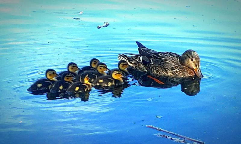 💙Mother duck and babies 💙 Duck Ducks Ducks In Water Ducks At The Lake Ducks In A Row Nature Photography Nature_collection Ducks In The Lake Ducks In Line Photooftheday Picoftheday Blue Blue Water Baby Duckling Baby Ducklings Ducklings Cute Nature_perfection Nature Beauty