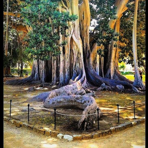 Piazza Marina, Palermo, Sicily, Italy. This incredible Fig tree, it's roots literally walking off into the Piazza. Moreton Bay Fig (Ficus macrophylla), this is one of the largest of these trees in Italy. Amazing. . Palermo Palermocity Piazzamarina Italy Italygram Sicilysummer Sicilia Sicily Sicilytourism Sicilytravel Italygram Travel Tree Figtree Italia @lynenicholas