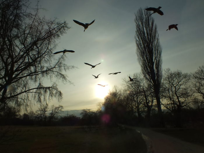 Gänse Im Sonnenuntergang Flying Bird Sunset Animal Wildlife Silhouette Animals In The Wild Animal Themes Sky Sun Nature Tree No People Motion Outdoors Spread Wings Beauty In Nature