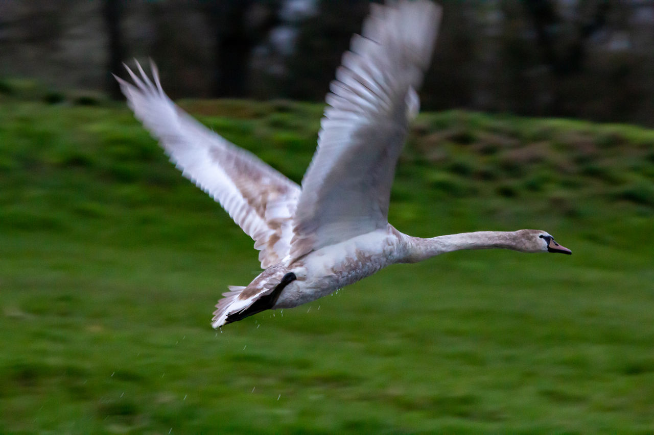 CLOSE-UP OF SEAGULL FLYING IN A GREEN