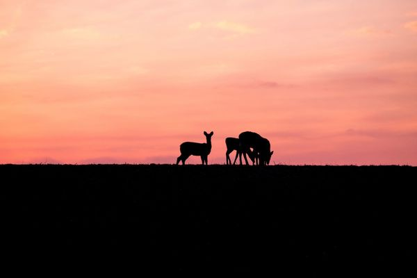 While everyone else was eating out for Valentines Day, my love drove me around the countryside so I could do what I love most - photograph things! Just after sunset we came across this scene somewhere in the country outside of Chatham, IL. It. Was. Beautiful! ❤ Sunset Sky Animal Themes Silhouette Nature Beauty In Nature Landscape Orange Color Mammal Idyllic Deer Does Nature Animals In The Wild Animals Wildlife Scenics Herbivorous Field Tranquil Scene Livestock Tranquility Outdoors Art Is Everywhere Millennial Pink The Great Outdoors - 2017 EyeEm Awards