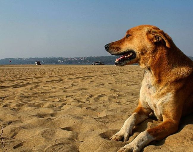 Dog Awesomeanimal Beach Goa Love Instagood Canon1200d