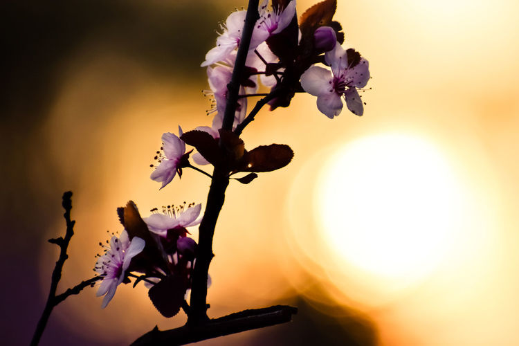 Always look at the bright side of Your life Exceptional Photographs Silhouette Poland Wiosna Bokehlicious Bokeh Love Flower Head Flower Tree Sunset Branch Sunlight Springtime Purple Sun Petal Streaming Sunbeam Shining Cherry Blossom