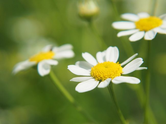 Beauty In Nature Close-up Daisy Day Flower Flower Head Flowering Plant Focus On Foreground Fragility Freshness Growth Inflorescence Nature No People Outdoors Petal Plant Pollen Springtime Vulnerability  White Color Yellow