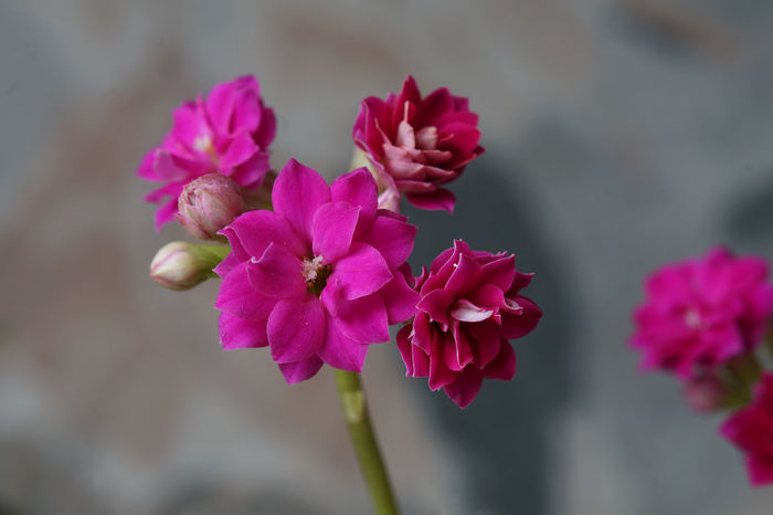 Blütenpracht Beauty In Nature Blooming Bokeh Background Close-up Day Flower Flower Head Fragility Freshness Growth Kalanchoe Macroblumen🌾 Nature No People Outdoors Petal Pink Color Plant