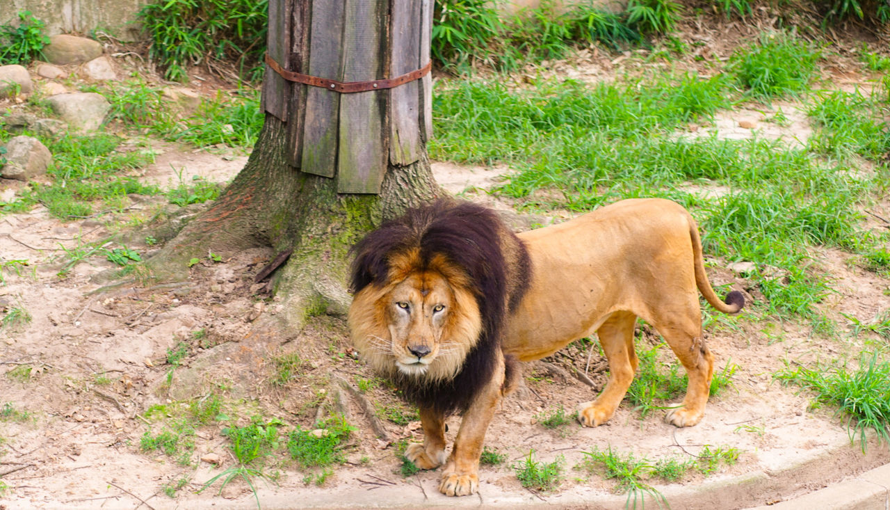 animal themes, one animal, mammal, animals in the wild, day, outdoors, animal wildlife, no people, lion - feline, nature, grass, tree