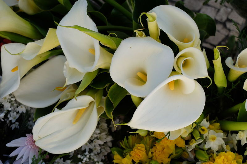 calla Beauty In Nature Calla-zantedeschia Close-up Day Flower Flower Head Fragility Freshness Growth Madeira Nature No People Outdoors Petal Plant White Color