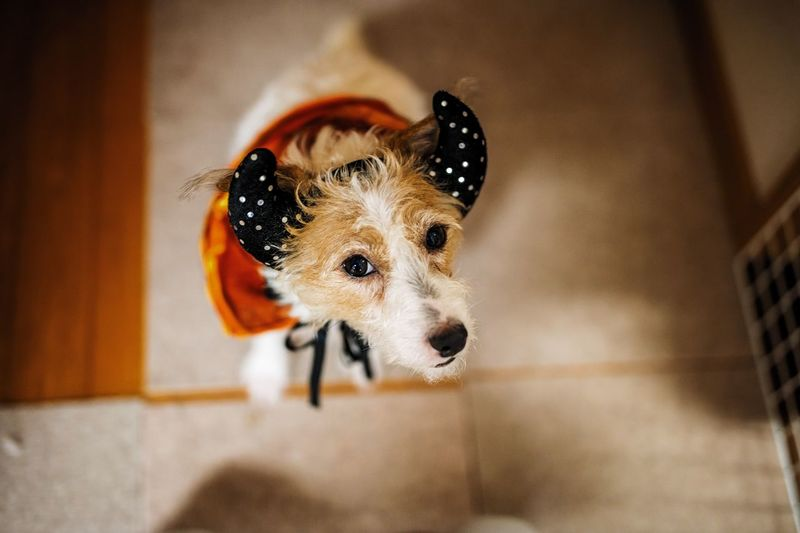 EyeEm Selects One Animal Pets Animal Themes Domestic Animals Dog Indoors  Mammal Portrait No People Home Interior Looking At Camera Jackrussell Jackrussellterrier Dogstagram Jackstagram Jrt Jrtlove Fresh On Market 2017