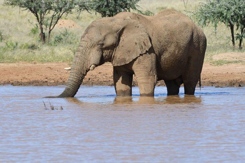Elefant in River EyeEm Selects Elephant Animal Themes Animal Animals In The Wild Animal Wildlife Mammal African Elephant Safari Vertebrate No People Water Animal Body Part Tree Outdoors Nature