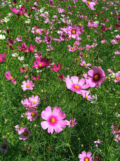 pink cosmos in