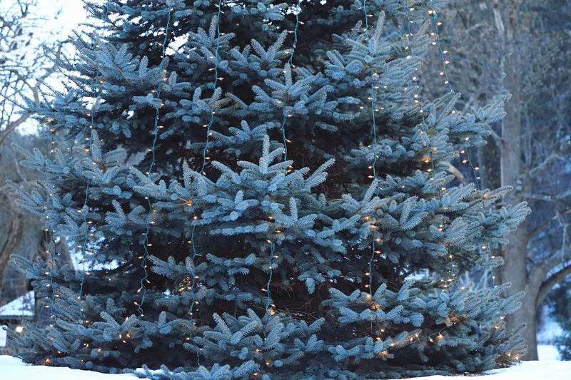 Winter Cold Temperature Snow Nature Tree Weather Christmas Frozen Christmas Tree No People Beauty In Nature Ice Outdoors Christmas Decoration Day Pinaceae Snowflake Hanging Branch Fir Tree