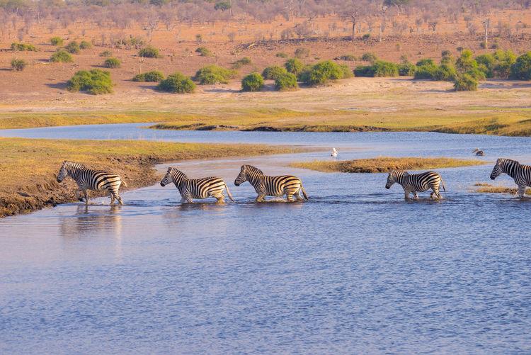 Zebras crossing Chobe river. Glowing warm sunset light. Wildlife Safari in the african national parks and wildlife reserves. Keywords: zebra,zebras,crossing,river,walking,galloping,africa,chobe national park,savannah,herd,wildlife,reserve,okavango,sunset,sunrise,safari,wild,travel destination,water,herbivorous,riverbank,bush,namibia,botswana,etosha,south africa,kruger,serengeti,flowing,kenya,tanzania,nature,savanna,herbivore,animal,striped,animals,white,black,pattern,skin,wilderness,mammal,game reserve,fauna,outdoors,cute,mammals,sunlight African Elephant Animal Animal Themes Animal Wildlife Animals In The Wild Arid Climate Beauty In Nature Day Drinking Hippopotamus Landscape Large Group Of Animals Mammal Nature No People Outdoors River Safari Animals Scenics Togetherness Travel Destinations Water Wildlife Reserve Zebra