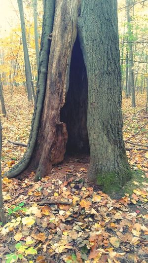 I was scared to look inside🐻 Tree Hollow Hollow Tree Home ??? Leaf Falling Leaves Woods Walking In The Woods Autumn Autumn Leaves Fall Season Change Winter Is Coming