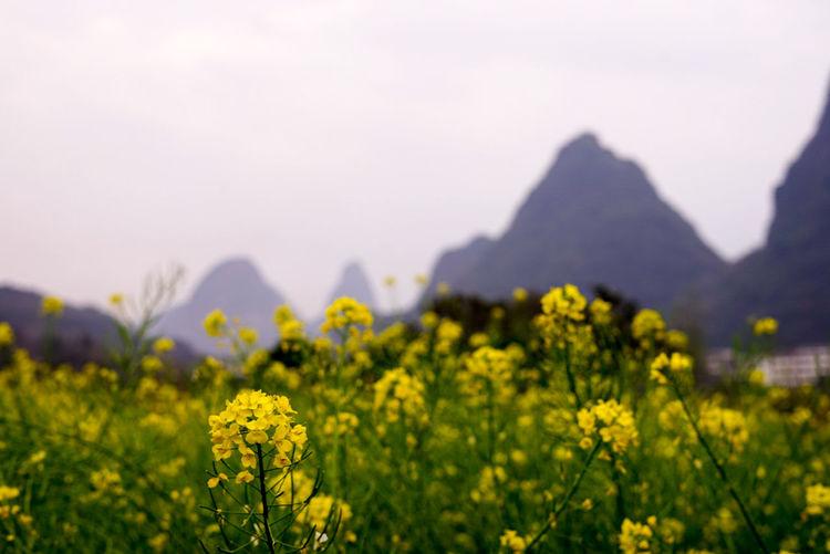 Close-up of oilseed rape field against sky