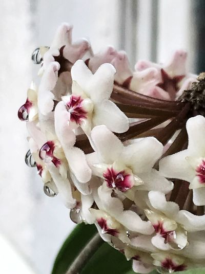 Flower Petal Freshness Fragility No People Blossom Close-up Flower Head Beauty In Nature Nature Pink Color Growth Day Springtime Orchid Indoors  Hoya Hoya Carnosa Wax Flower Dew Dew Drops