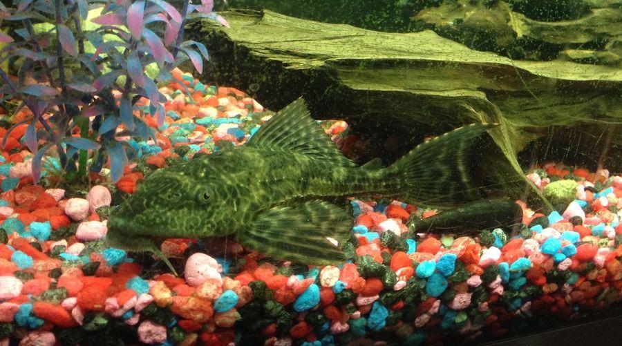 Pleck Fish Awesome Pattern Pet, Known As Pleckyy Fishh
