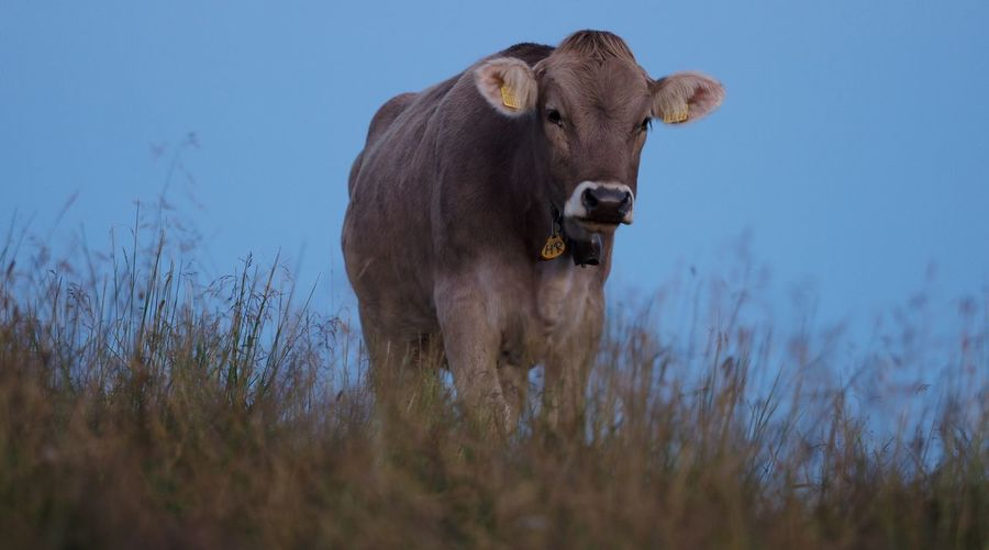 Cow standing in grass against clear sky