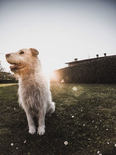 Dog on field against clear sky