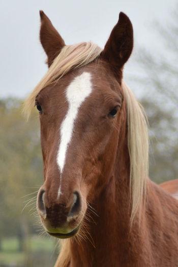 Animal Body Part Animal Head  Animal Themes Cheval Domestic Animals Horse Horse Head Horse Photography  Horses