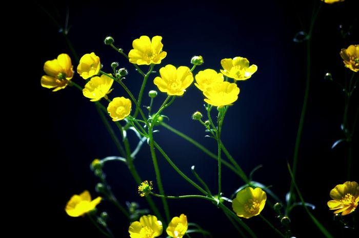Yellow Nature No People Freshness Beauty In Nature Luminosity Edit Junkie Flower Nature On Your Doorstep Buttercup Beauty Uncultivated