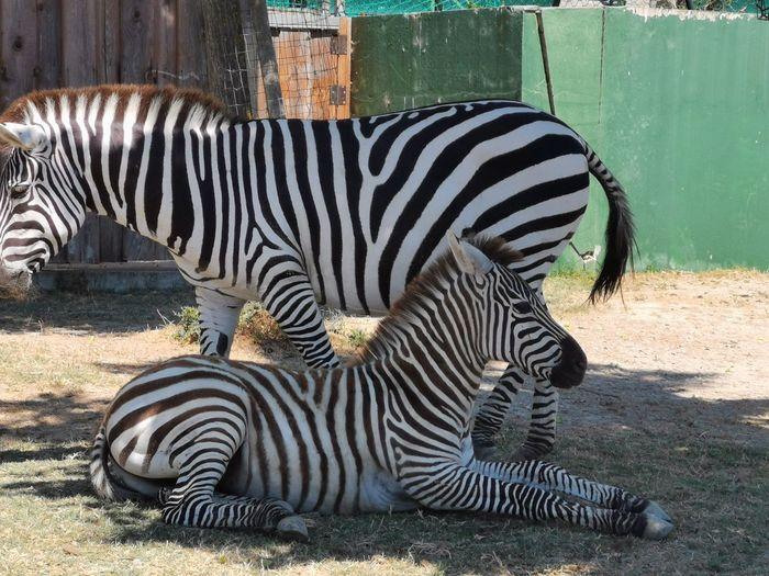 Zebra in a zoo