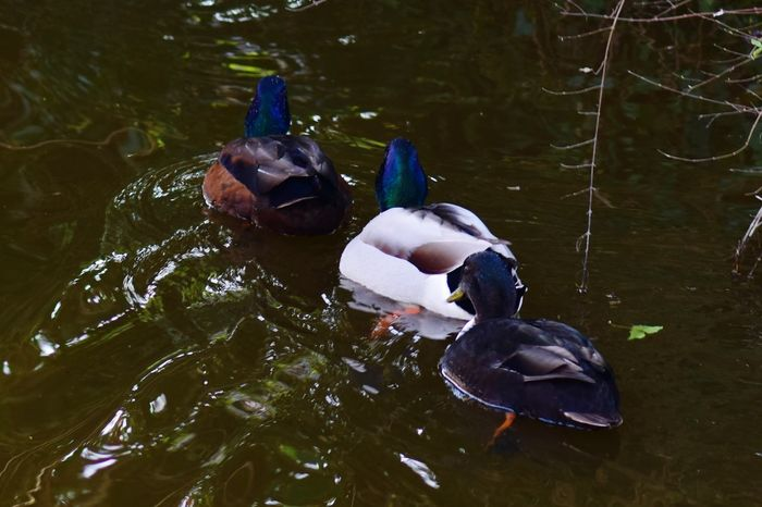 EyeEm Selects Animal Wildlife Bird Swimming Animals In The Wild Water Lake Outdoors No People