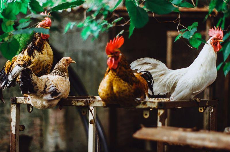 Bird Cockerel Rooster City Agriculture Chicken - Bird Close-up Livestock Animal Crest Baby Chicken Farmland Young Bird Chicken Bird Nest Chick Nest Coot Duckling Gosling Cygnet Mallard Duck Animal Pen Cage Birdcage White Meat Poultry Female Animal Hen