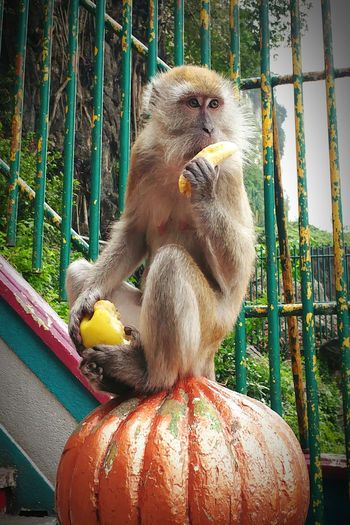 I want a banana, and a pear too. Do u have anything else? I want that too.. 😝 Monkey Banana Iwantmore Foodcrave Day One Animal Animal Themes No People Close-up Mammal