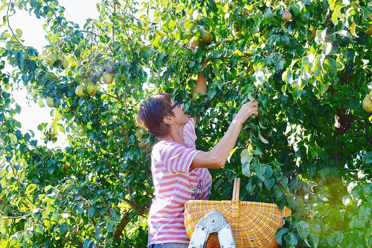 Basket Fruit Tree Woman Pear Tree  Harvest Agriculture Raw Food Organic Fruit Pear Picking Plant One Person Tree Leisure Activity Growth Real People Lifestyles Day Females Casual Clothing Nature Women Standing Outdoors
