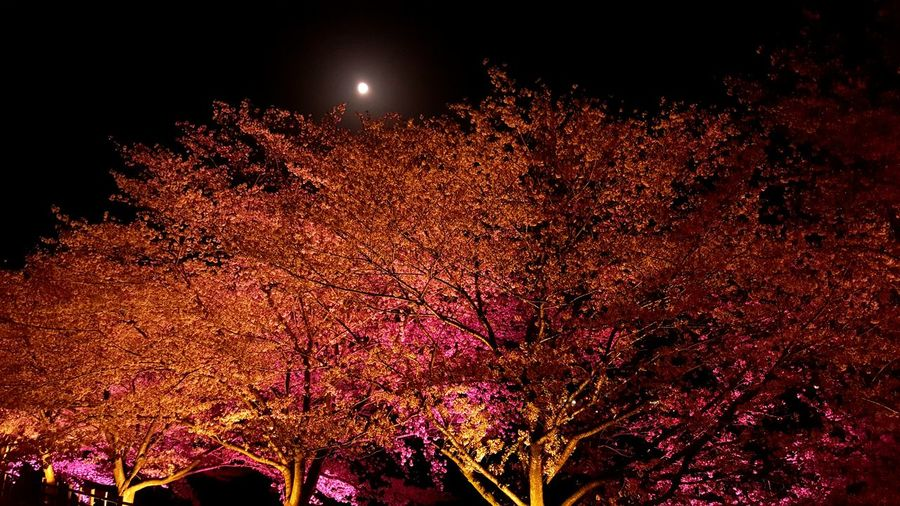 Flowernature Flower Plum Blossom Tree Red Color Pink Color Astronomy Illuminated Red Sky Moon Moonlight Blooming Flower Head