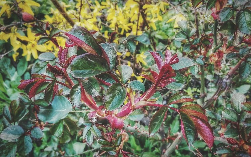 leaves grow... Spring Colours Rose Plant Spring Into Spring Freshness EyeEm Nature Lover Close Up Growing Botany Buds Shades Of Nature Color Explosion