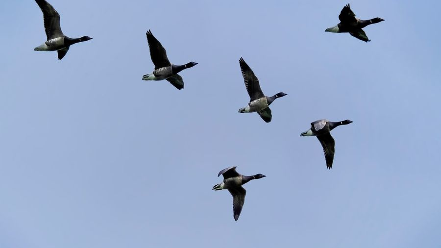 Migrating Brent Geese Flying Animals In The Wild Bird Animal Themes Animal Wildlife Spread Wings Mid-air Nature Low Angle View Day No People Outdoors Flock Of Birds Motion Large Group Of Animals Goose Geese Clear Sky Sky