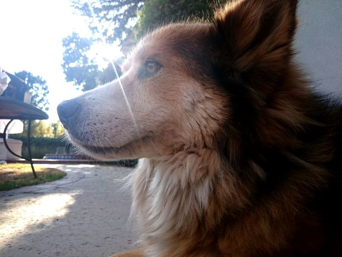 Dog Thoughts Sun Orange Fur Walkway Dogphotography