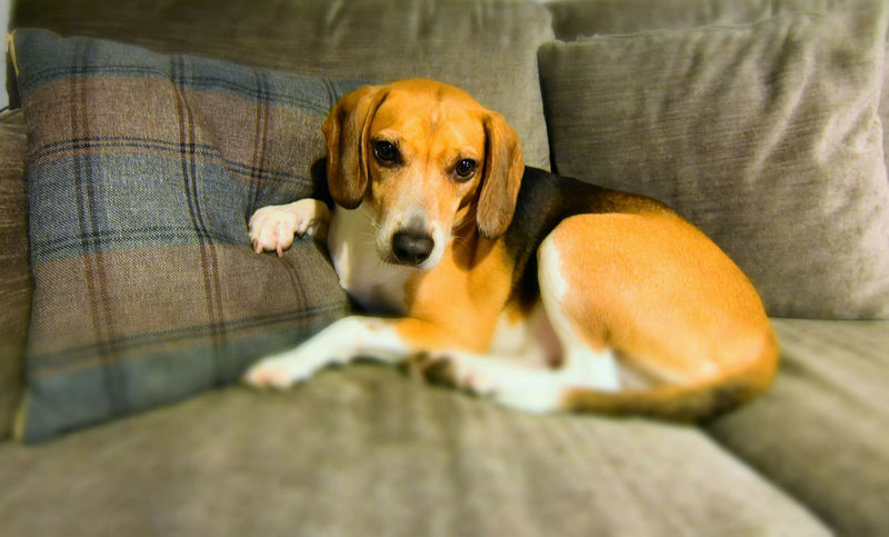 beagle on a sofa Beagle Beaglelovers Close-up Dog Domestic Animals Indoors  No People One Animal Pet Bed Pets dogpicture Pet Portraits