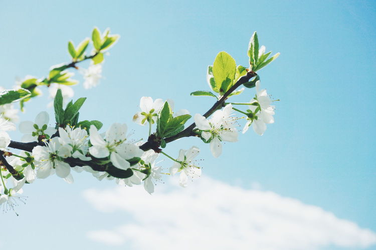 Low angle view of white plum blossoms blooming on branch against sky