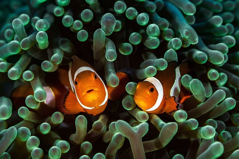 Close-up of clown fish swimming undersea