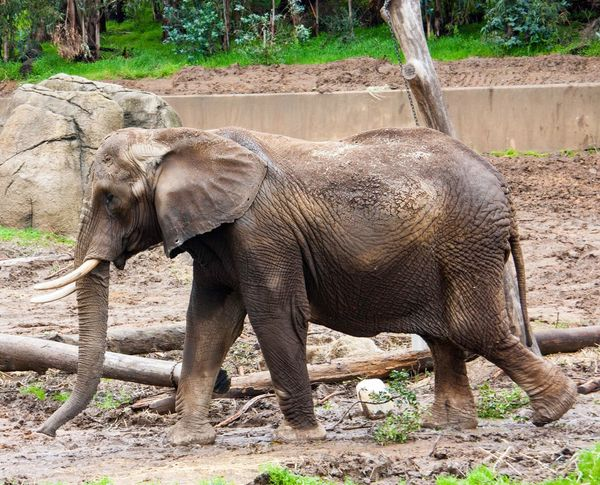 Elephant Animal Themes Nature Side View Animals In The Wild Animal Wildlife Mammal Elephant Calf Animal Trunk Young Animal No People Standing Herbivorous Animal Outdoors Day Full Length Forest Calf Care