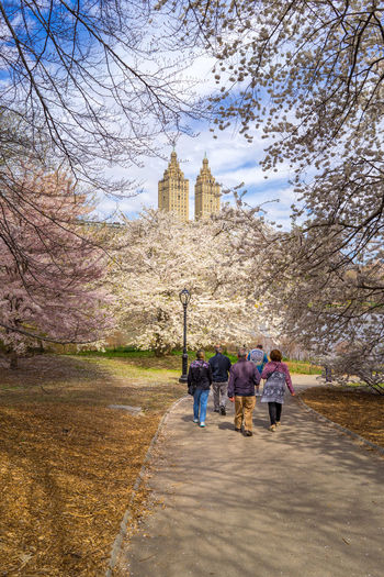 Walking pass cherry blossoms trees in Central Park. Central Park Cherry Blossoms Grass Sunny Tree Architecture Branch Building Exterior Group Of People Incidental People Leisure Activity Medium Group Of People Nature Outdoor Photography Outdoors Rear View Sky Travel Travel Destinations Tree Walking White Blossoms