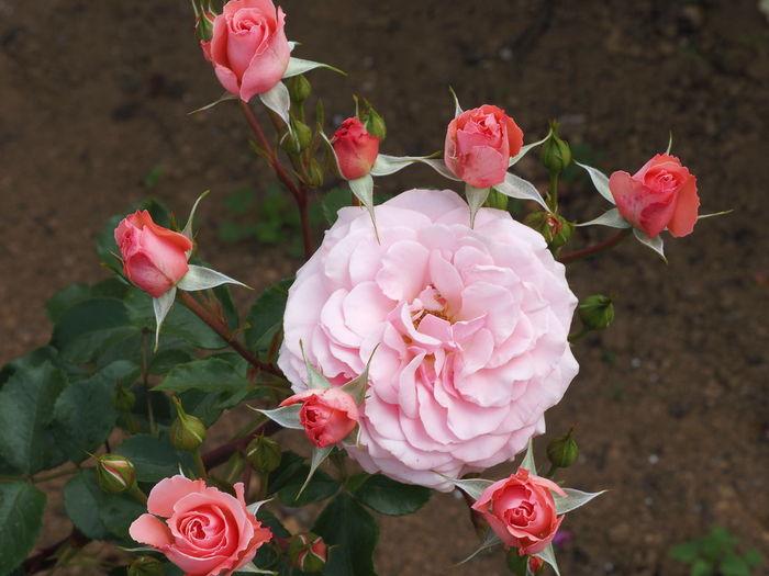 Tokyo Roses REIWA 2019.5