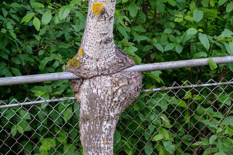 An aspen tree