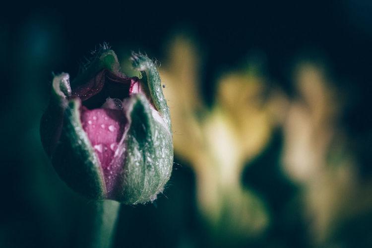 Ranunculus Bud